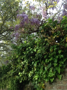 Garden Wall and Wisteria